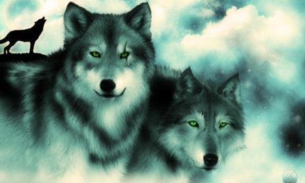 Pelea entre dos lobos