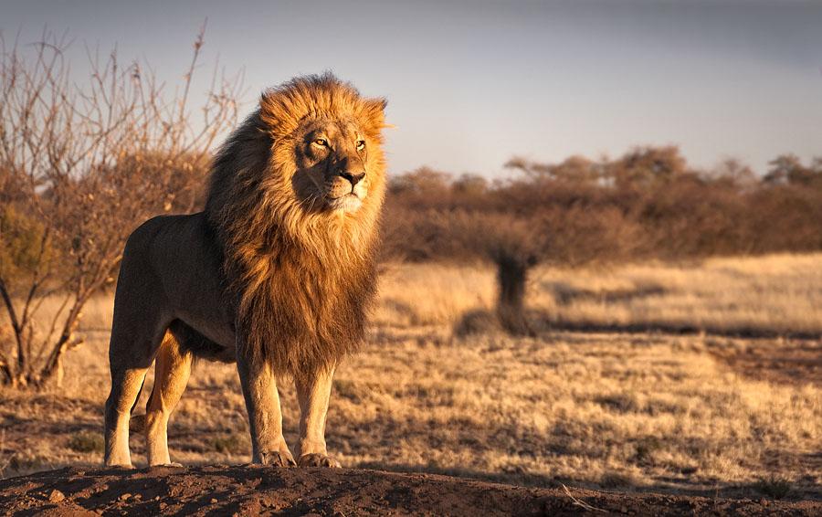 No importa si eres un león o un antílope